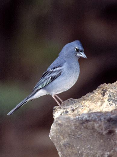 Pinzón Azul (Fringilla teydea)