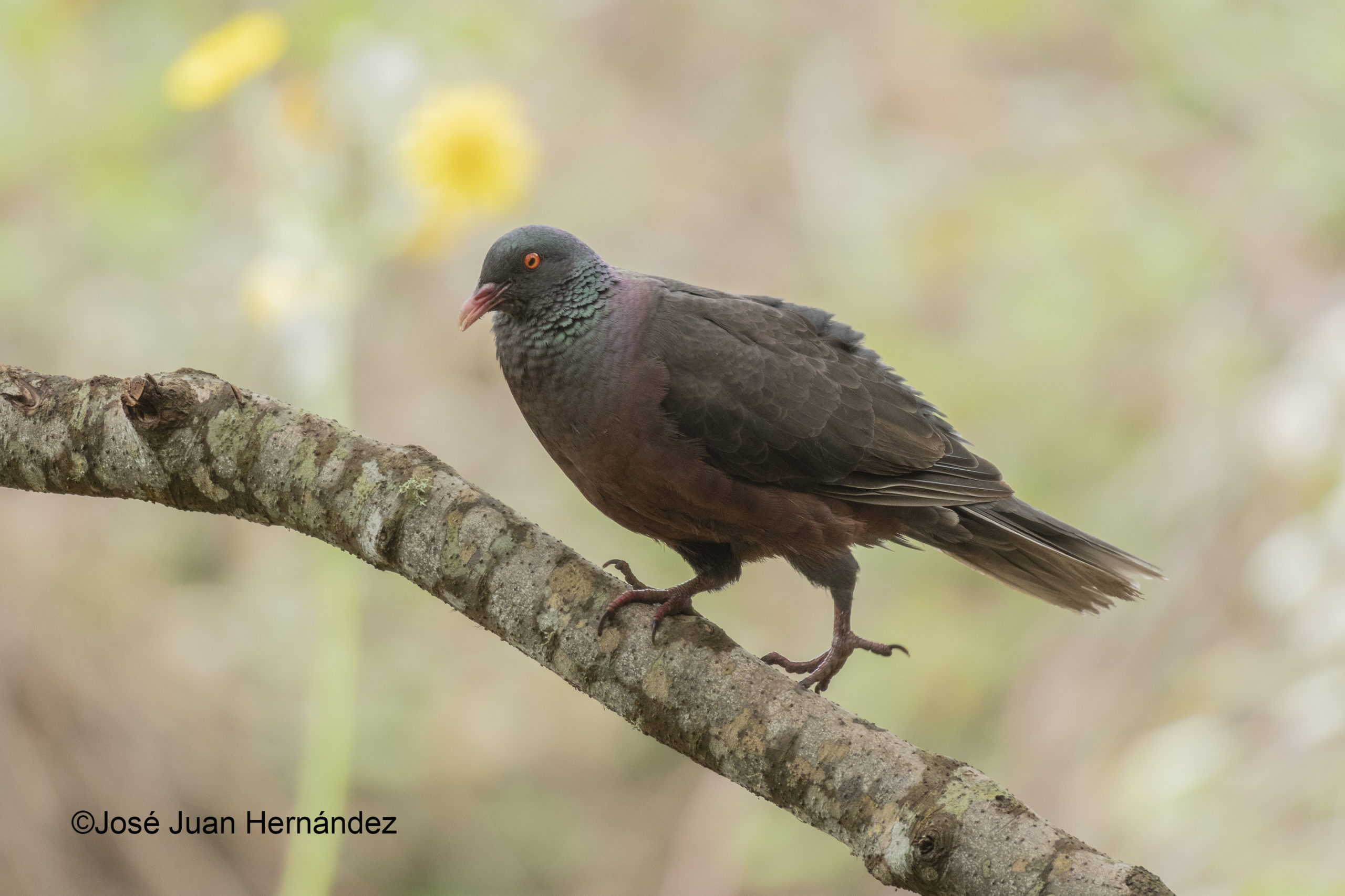 Paloma rabiche. Columba Junoniae. Laurel pigeon.